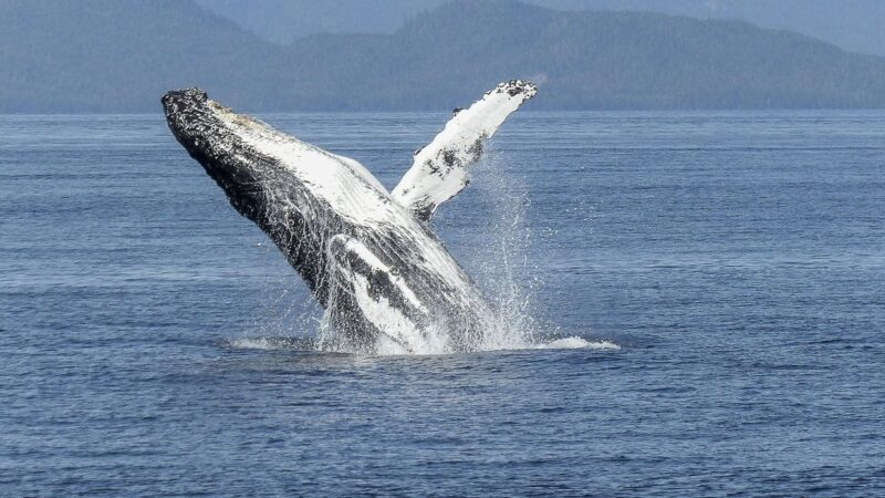 6 Meilleurs endroits pour observer les baleines en Australie